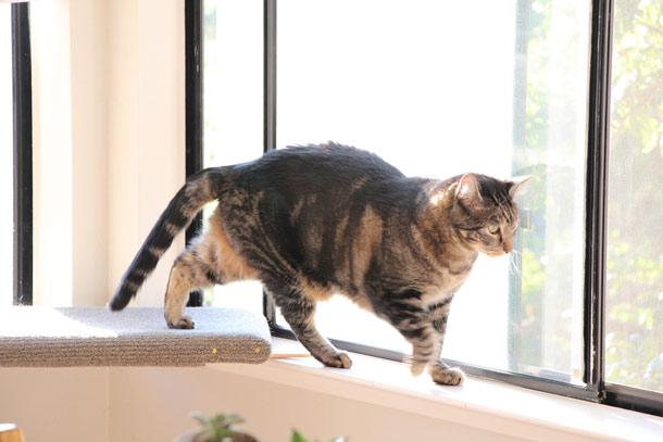 tabs-cat-walking-windowsill